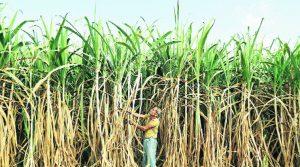 sugar-crop-l